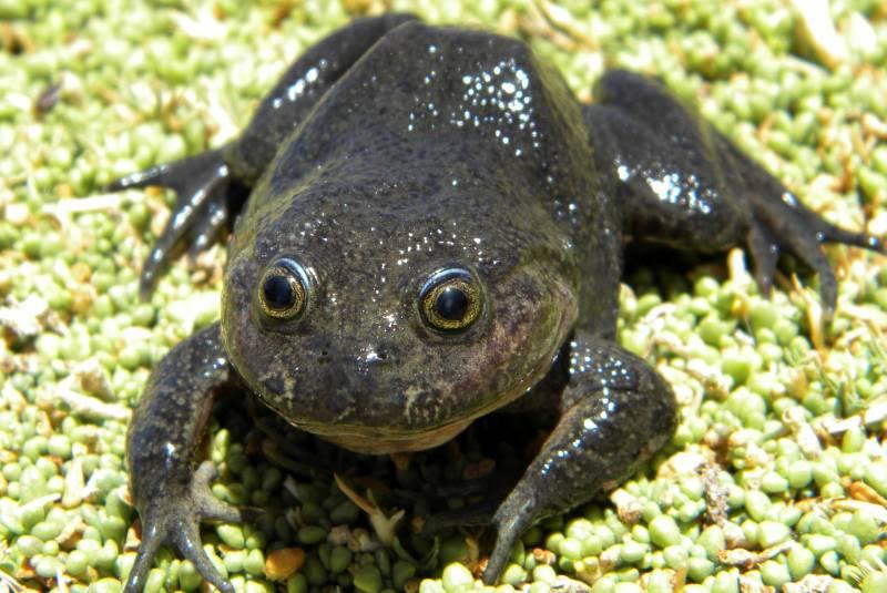 Investigadores detectan especie de rana que se creía desaparecida hace más de 80 años. Noticias en tiempo real