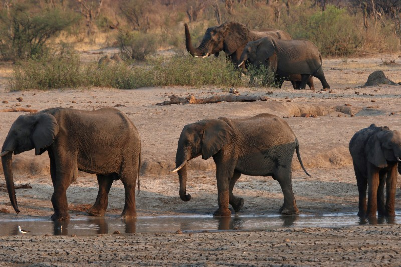 Determinan la causa de muerte de 300 elefantes en Botsuana. Noticias en tiempo real