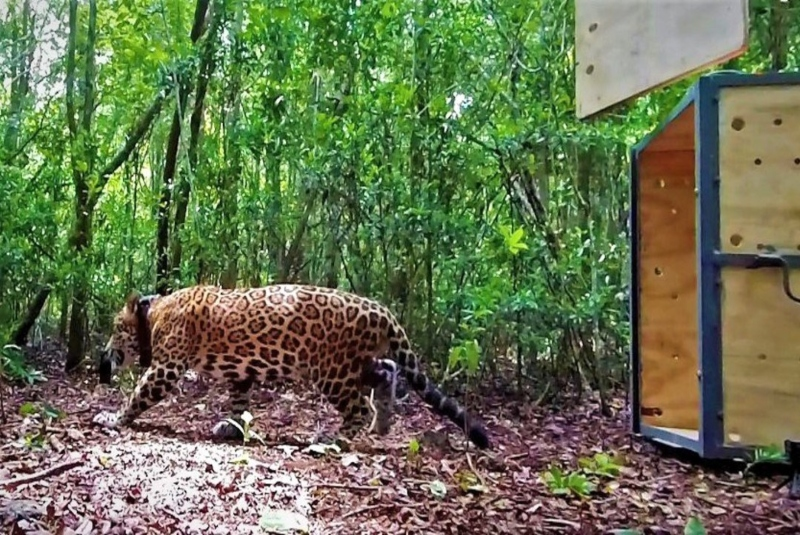Tras larga recuperación, Jaguar es liberado en reserva de Quintana Roo. Noticias en tiempo real