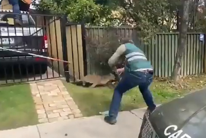Capturan a pumas que vagaban en un barrio de Chile (+video). Noticias en tiempo real
