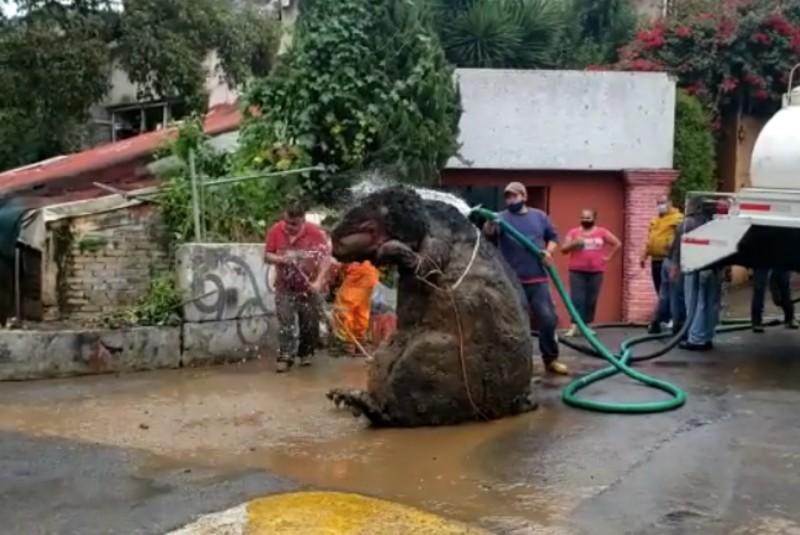 """Rata """"gigante"""" colapsa desagües y provoca inundaciones en Magdalena Contreras (+video). Noticias en tiempo real"""