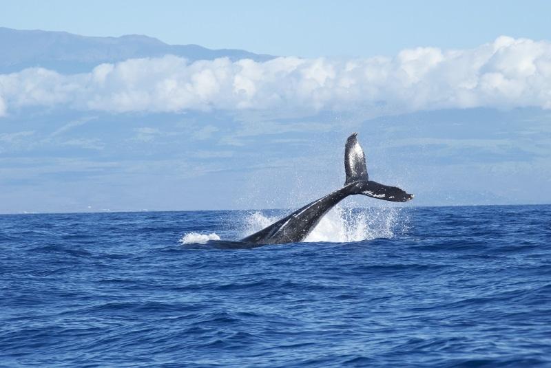 Intentan rescatar a 25 ballenas varadas en la Isla Norte, Nueva Zelanda. Noticias en tiempo real